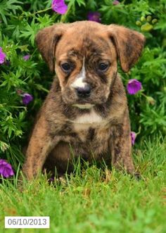 Beabull Puppies for Sale   Lancaster Puppies ®