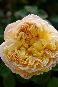 Rose 'Charles Darwin'