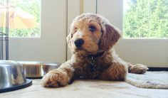 1000+ images about Dog Breeds on Pinterest   Spanish water dog ...