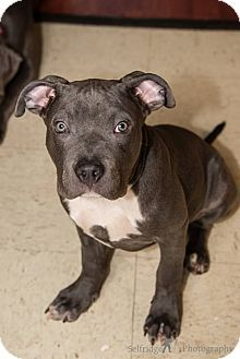 Los Angeles, CA - Pit Bull Terrier Mix. Meet Sheldon a Dog for Adoption.