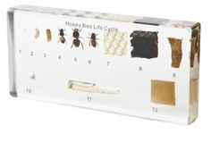 This clear Lucite display of the Honey Bee Life Cycle is ideal for study. A superb piece of educational decor for a desk or shelf!