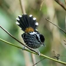 choquinha-de-dorso-vermelho_Drymophila ochropyga_Brazilian Birds