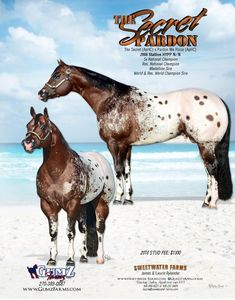 Sweetwater Farms Breeders of Quality Appaloosas since 1979 American Paint Horse, Most Beautiful Horses, Appaloosa Horses, Equestrian, Pony, Cute Animals, Farms, Quarter Horses, Horse Stuff