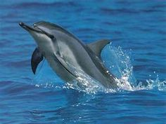 Spinner dolphin.  Smallest of all.  Known for their spinning and giant leaps.  They have a very long snout and marine biologist believe they sleep with only half their brain.