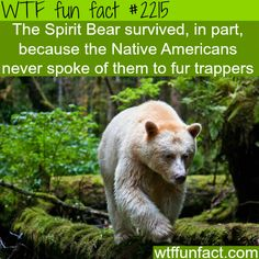 The spirit Bear - WTF fun facts - oh wow! Smart, so many bears & animals died to fur trappers