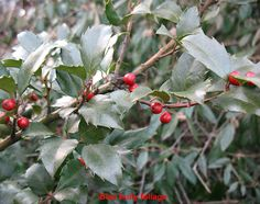 Plainfield Trees: English holly