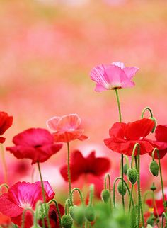Pretty poppies bloom through the gloom My Flower, Wild Flowers, Beautiful Flowers, Poppy Flowers, Summer Flowers, Bloom, Gif Rose, Jolie Photo, Mother Nature