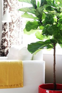"""I looooove fiddle leaf figs. I first noticed them in Wilson's office on House, of all places. I'd get so distracted admiring the plant that I'd have to rewind to catch the dialogue. Now that I have my own fiddle leaf fig, it's affectionately known as """"the Wilson plant."""" The good news is, if I can take care of one, you can too. Here are some tips for keeping them healthy and happy."""