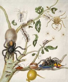 """genusspecies: by Maria Sibylla Merian. """"And artist Maria Sibylla Merian depicts a tarantula carrying a hummingbird, a meal too grand for any real spider. I hope Maria rises from the grave and sues Nature Publishing Group for libel. Botanical Art, Botanical Illustration, Illustration Art, Nature Illustrations, Botanical Gardens, Real Spiders, Sibylla Merian, Nature Artists, Insect Art"""