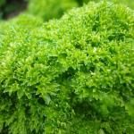 Parsley Juice for Kidney Cleansing and Liver Detoxification