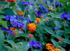 Proven Winners Luscious® Citrus Blend™ Lantana paired with blue verbena. P. Allen Smith Garden Home blog; love the colors