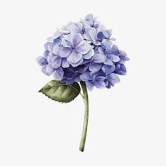 Botanical Art, Botanical Illustration, Watercolor Flowers, Watercolor Paintings, Hydrangea Painting, Watercolor Projects, Flower Phone Wallpaper, Floral Illustrations, Pics Art