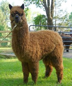 Pets | One of the many Alpacas grazing the grounds at Bella Alpacas  located in New Milford, CT.