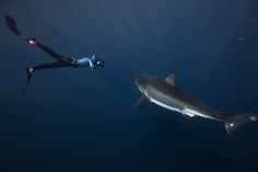 Debunking #sharks' bad reputation - Free-diver William Winram and a great white shark near Guadalupe Island, off Baja California, from @latimesphotos
