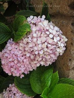 """How to grow:  Step 1: From a healthy hydrangea plant: clip a 6"""" branch that did not flower this year.   Step 2: Remove all larger foliage from the bottom of the branch, and clip the largest leaves on top in half.   Step 3: Stick branch in coarse sand in a pot and add water.   Step 4: Cover with plastic to create mini-greenhouse (optional but useful)."""