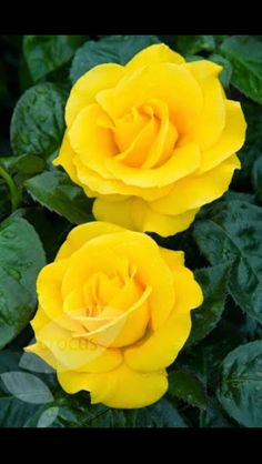 Yellow roses pinterest yellow roses life photo and flowers golden wedding rose floribundahybrid tea yellow roses are my favourite represent friendship and remind me of someone special x mightylinksfo