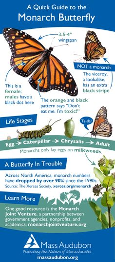 Monarch butterfly quick guide butterfly caterpillar Monarch Butterfly Q. Monarch Butterfly Facts, Butterfly Photos, Animal Decor, Animal Nursery, Beautiful Butterflies, Gardening Tips, Hummingbirds, Illustration, Pet Photography