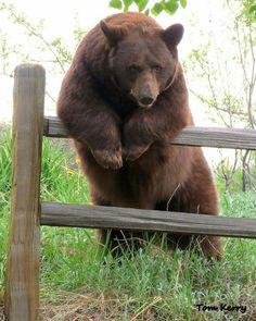 A bear contimplating his next move in Woodland Park, Colorado