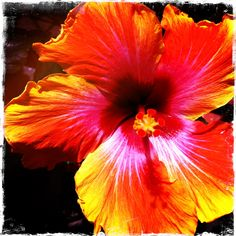Orange hibiscus...unbelievably beautiful!
