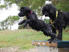 Pouch Cove Portuguese Water Dogs [Pouch Cove Caribe] Jack's father Caribe at 11 weeks