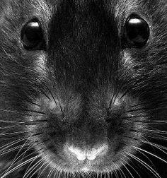 Llewellyn's pet rat Jareth Cute Creatures, Beautiful Creatures, Animals Beautiful, Animals And Pets, Baby Animals, Cute Animals, Strange Animals, Rats Mignon, Les Rats