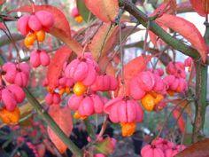 Euonymus | Perryhill Nurseries