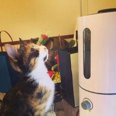 蒸気が気になるニャン💨💨 生後3か月のおてんばです🐈  #三毛猫 #猫部 #ごまちゃん #cat #gatinha #家猫 #愛猫