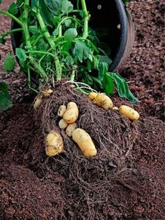 potatoes, (spuds), we would have starved if we hadn't grown these.  We preserved these for winter in our potato hole through the winter