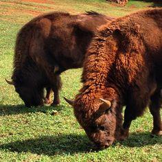 #bisonte #cabarceno #cantabria #excursion #verano #summer #animales #familytrip