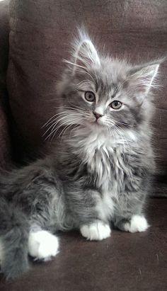 Most up-to-date Photographs cats and kittens maine coon Ideas While you get a whole new cat within the house, it is deemed an fascinating moment, as well as for quite a fe Cute Baby Cats, Cute Cats And Kittens, Cute Baby Animals, Kittens Cutest, Funny Animals, Bengal Kittens, Maine Coon Kittens, Cute Kitty, Cute Fluffy Kittens