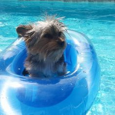 Patapouf ... #summer #yorkie