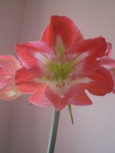 Amaryllis bloom close up