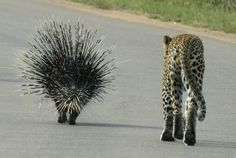 Porcupine and leopard Cat 2, African Animals, Big Cats, Animal Pictures, Wildlife, Pets, Wild Animals, Tigers, Awesome