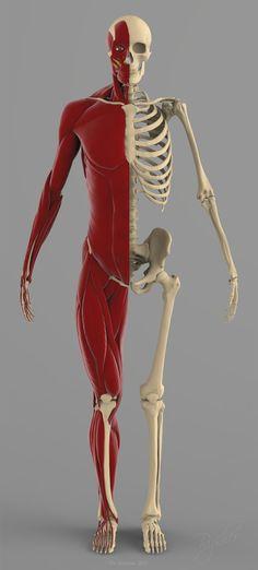 Precise Human Skeleton Muscles 3d Model Drawings Pinterest