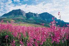 Spring in the Helderberg mountain - Somerset West, Cape Town - South Africa. South Africa Tours, Somerset West, Reserva Natural, Pretoria, Nature Reserve, Heritage Site, Cape Town, Continents, Science Nature