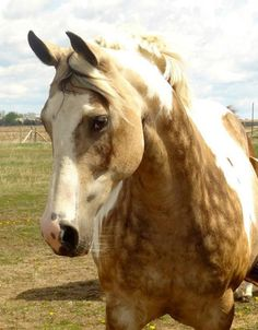 buckskin tobiano mare; love those dapples!