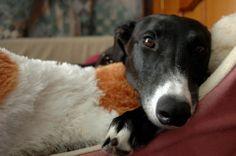 Hi pretty greyhound :)