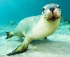#sealion #underwater #sea #fish