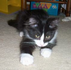 Orville is an adoptable Domestic Medium Hair-Black And White Cat in Chaska, MN. Orville Orville is a male 14-week old DMH black and white kitten, born approximately April 14, 2012.  Orville is a very...