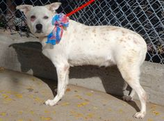 SUPER URGENT MANHATTAN JAZZY – A1056479 FEMALE, WHITE / BROWN, BORDER COLLIE MIX, 8 yrs STRAY – ONHOLDHERE, HOLD FOR ID Reason STRAY Intake condition UNSPECIFIE Intake Date 10/31/2015, From NY 10033, DueOut Date 11/02/2015, http://nycdogs.urgentpodr.org/jazzy-a1056479/