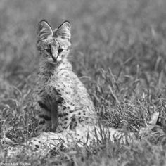 Serval kittens, born in litters of two to four, are difficult to observe, as the mother hides them well and frequently changes the hiding place. Because the female raises the litter alone, she has to hunt frequently to feed them. When the young are large enough to hunt, the mother drives the males out. Young females remain somewhat longer, but when they become sexually mature, they too leave to establish their own territories.