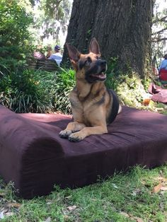 German Shepherd enjoying summer at the park in his extra large dog bed from GoliathPets.com