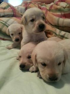 AKC Yellow Labrador Puppies for sale!