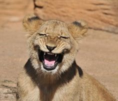 funny lion laughing