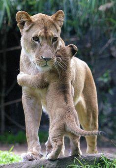 A lion cub hugging mom.
