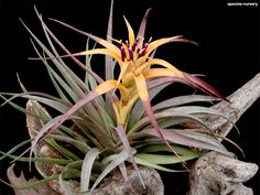 Tillandsia capitata yellow ✴ airplant ♥ airplants