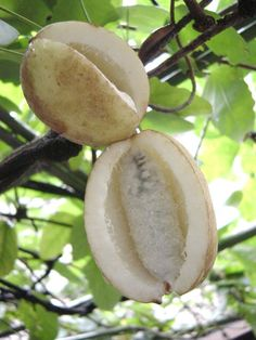 Akebi, the Japanese fruit is a mysterious and beautiful fruit native to the north of Japan. The Akebi fruit will burst open naturally when fully ripe showing the translucent white flesh inside, filled with countless white capped shiny black seeds which can be eaten.