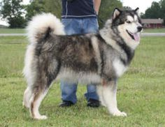 Giant Alaskan Malamute Dog Breed Information and Photos Giant Alaskan Malamute Dog Breed Information and Photos Giant Alaskan Malamute Puppies, Giant Malamute, Malamute Husky, Giant Dogs, Big Dogs, Large Dogs, Cute Dogs Images, Cute Dog Pictures, Dog Best Friend