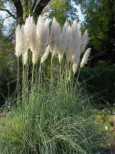 500Pc//Tasche Rare Schöne lila Pampas-Gras-Blumen-Pflanzen-Samen Garten Yard Nice