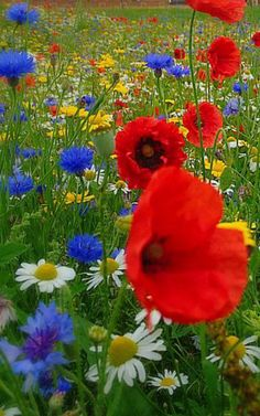A beautiful bouquet to make ! - A beautiful bouquet to make ! Wild Flower Meadow, Wild Flowers, Deco Floral, Red Poppies, Geraniums, Beautiful Gardens, Flower Pots, Flower Seeds, Planting Flowers